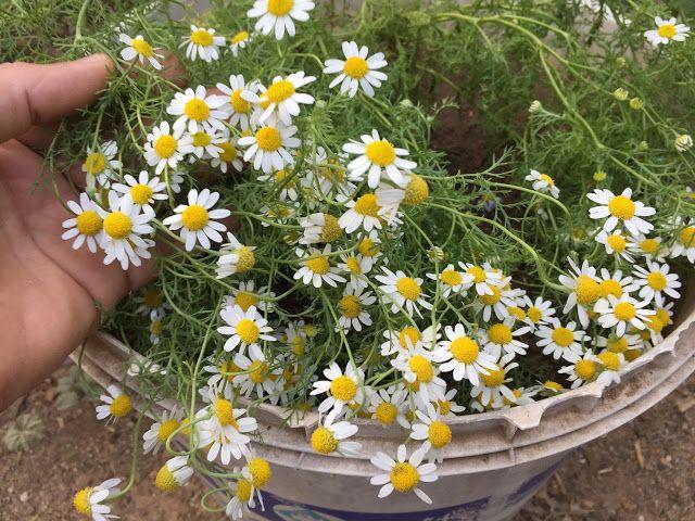 How To Grow Chamomile Chamomile Plant Medicinal Plants 400 x 300