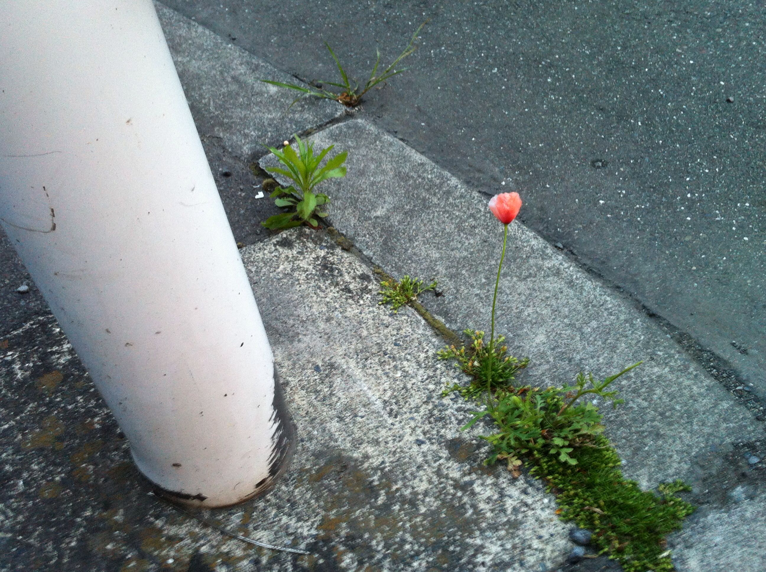 "Amazing how this flower is surviving in between the cement.   ""We are troubled on every side, yet not distressed; we are perplexed, but not in despair; Persecuted, but not forsaken; cast down, but not destroyed"" (2Corinthians 4:8-9)"