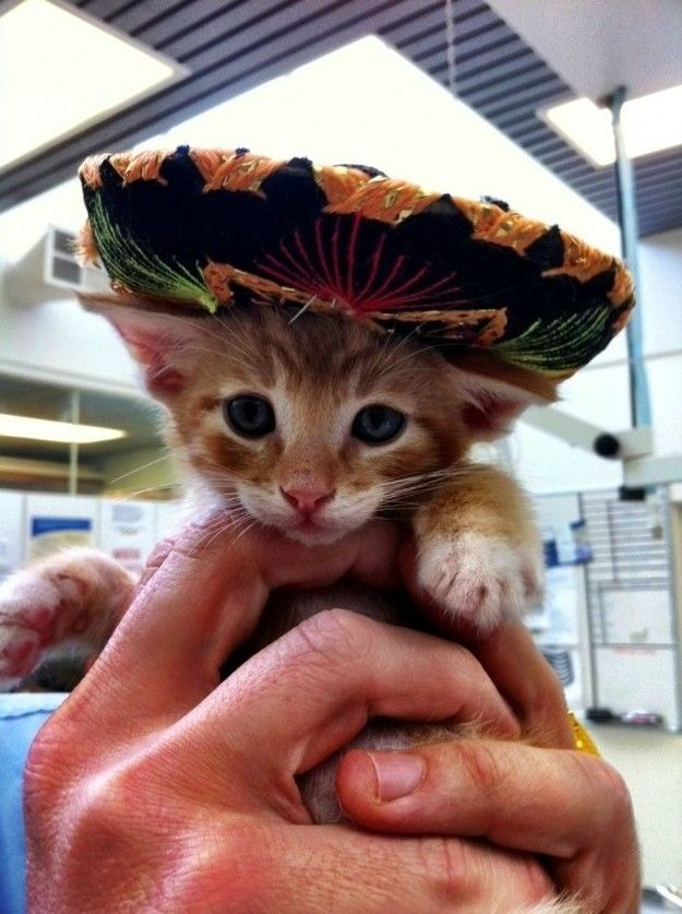 23 Cats Looking Adorable In Mariachi Hats Cute Animal Pictures Cats And Kittens Cute Animals