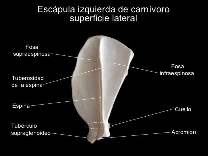 Osteología del miembro torácico (con imágenes) | Anatomia ...