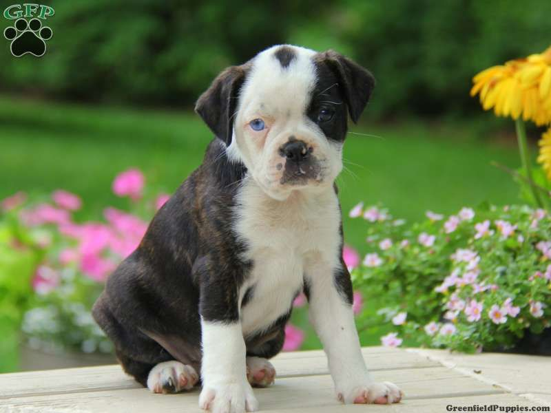 Boston Terrier Mix Puppies For Sale Greenfield Puppies Terrier Mix Terrier