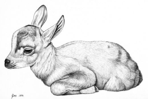 Baby gazelle pencil rendering 11x14 inches limited edition of 140 prints 15 each