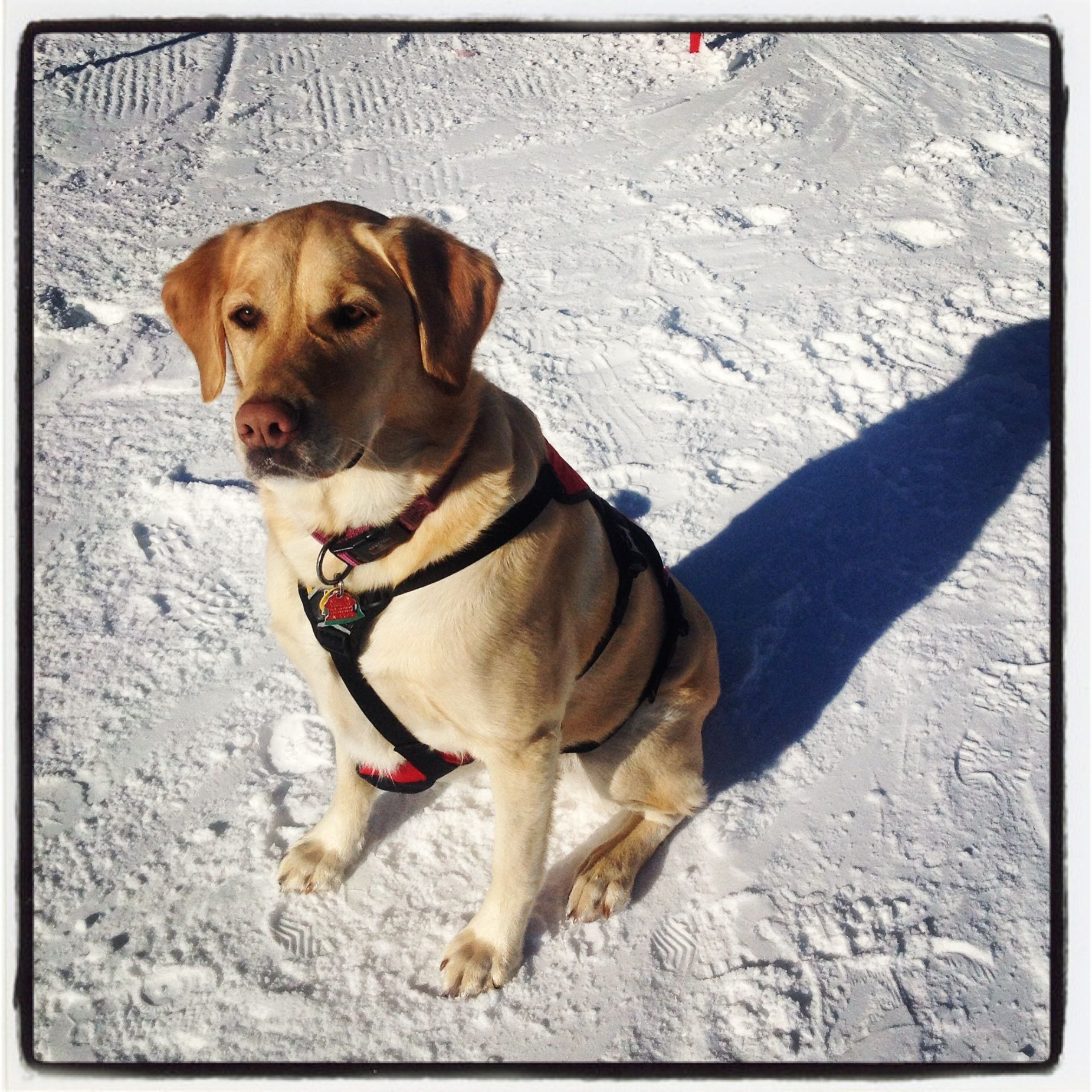 Meet Carmen... One of our amazing avalanche dogs #snowbasin.com #avalanchedogs