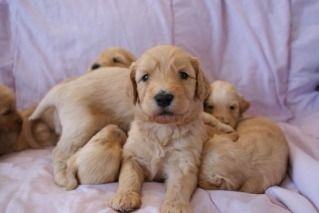 Puppy Paradise 4 Week Old Goldendoodle Pups Aawwww 3 3 3