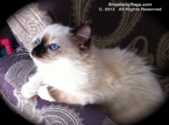 Ragdoll Cats For Sale New York City New Jersey Long Island Ragdoll Cat Ragdoll Cats For Sale Ragdoll Kittens For Sale