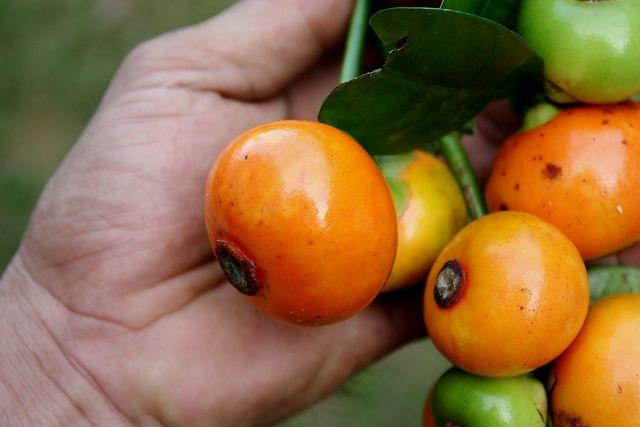 Garcinia Prainiana King Garcinia Garcinia Cambogia Fruit