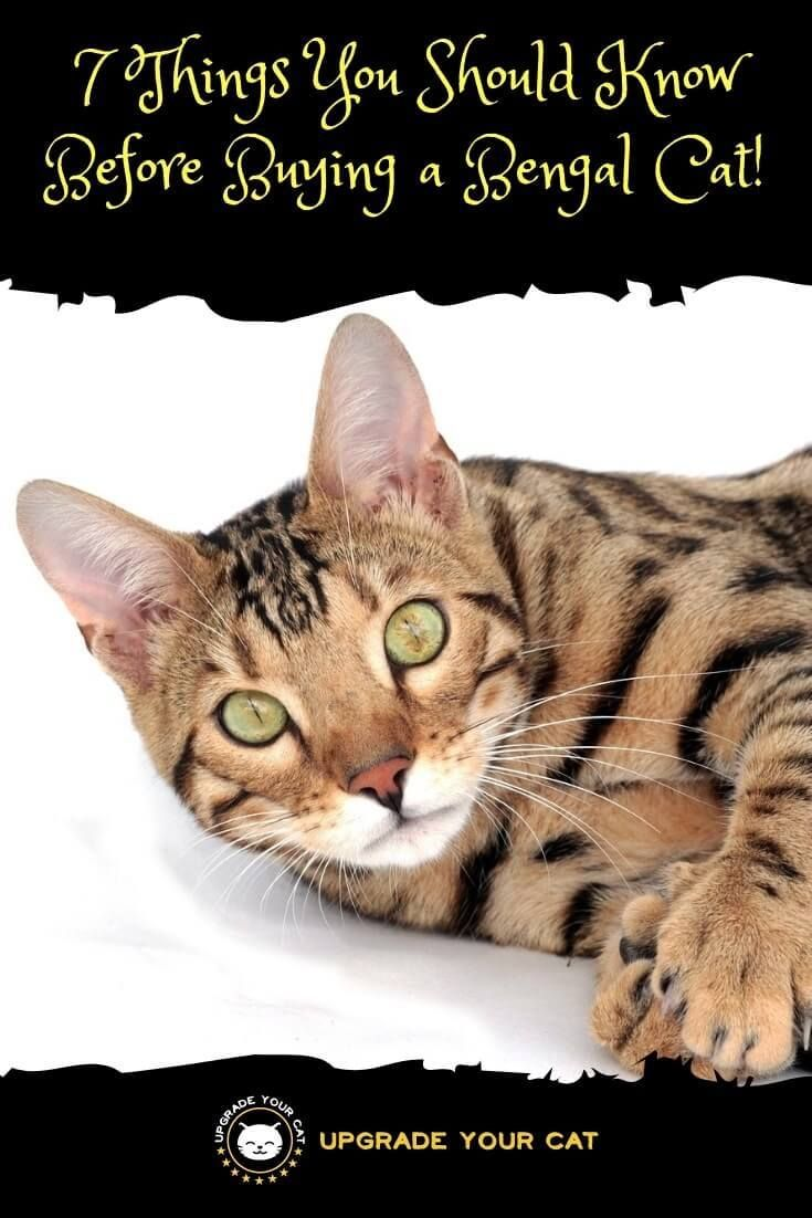 7 Things You Should Know Before Buying a Bengal Cat Cat