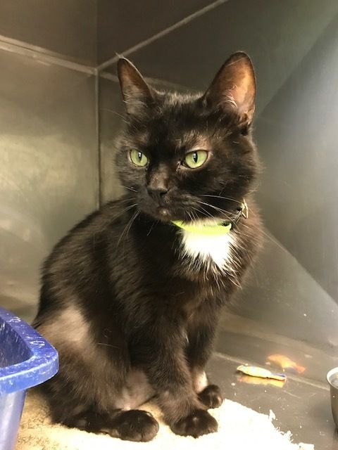 Adopt Bleeker Abs Declawed On With Images Adoption Short Hair Black Pets