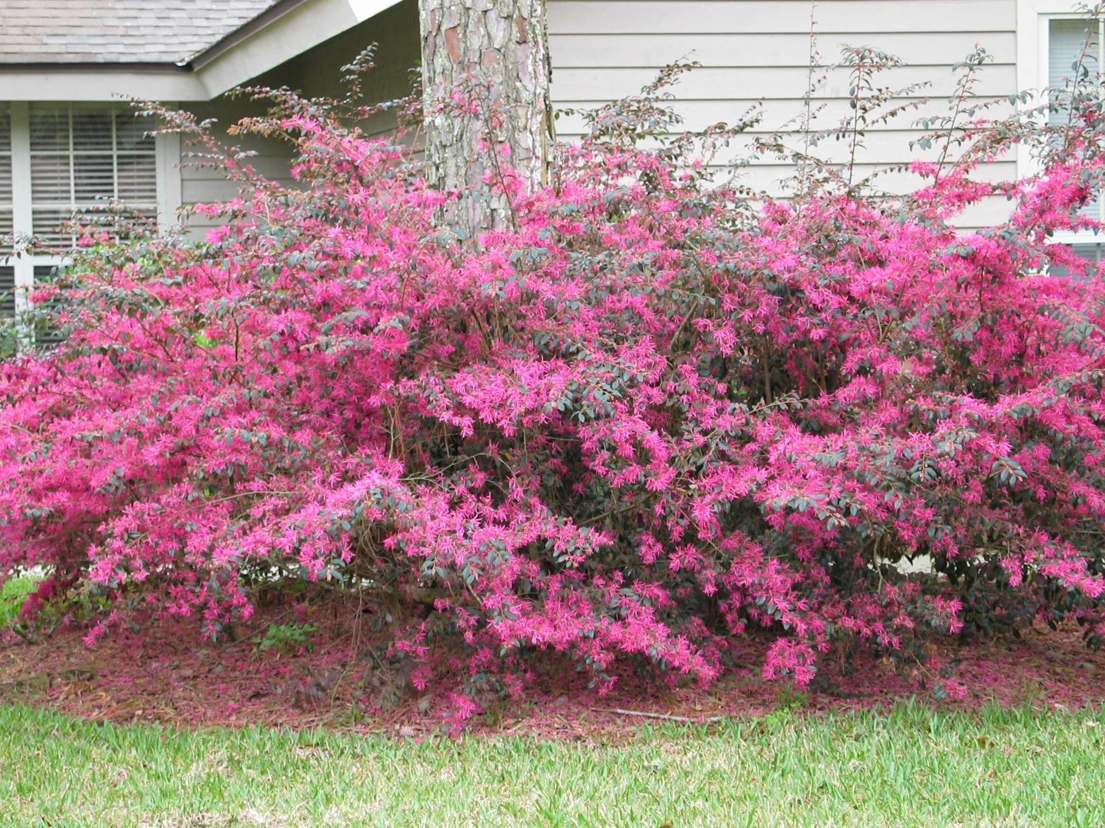 Shrubs to plant in fall - Loropetalum Or Chinese Fringe Flower My Favorite Landscaping Shrub Has Lovely Pink Flowers