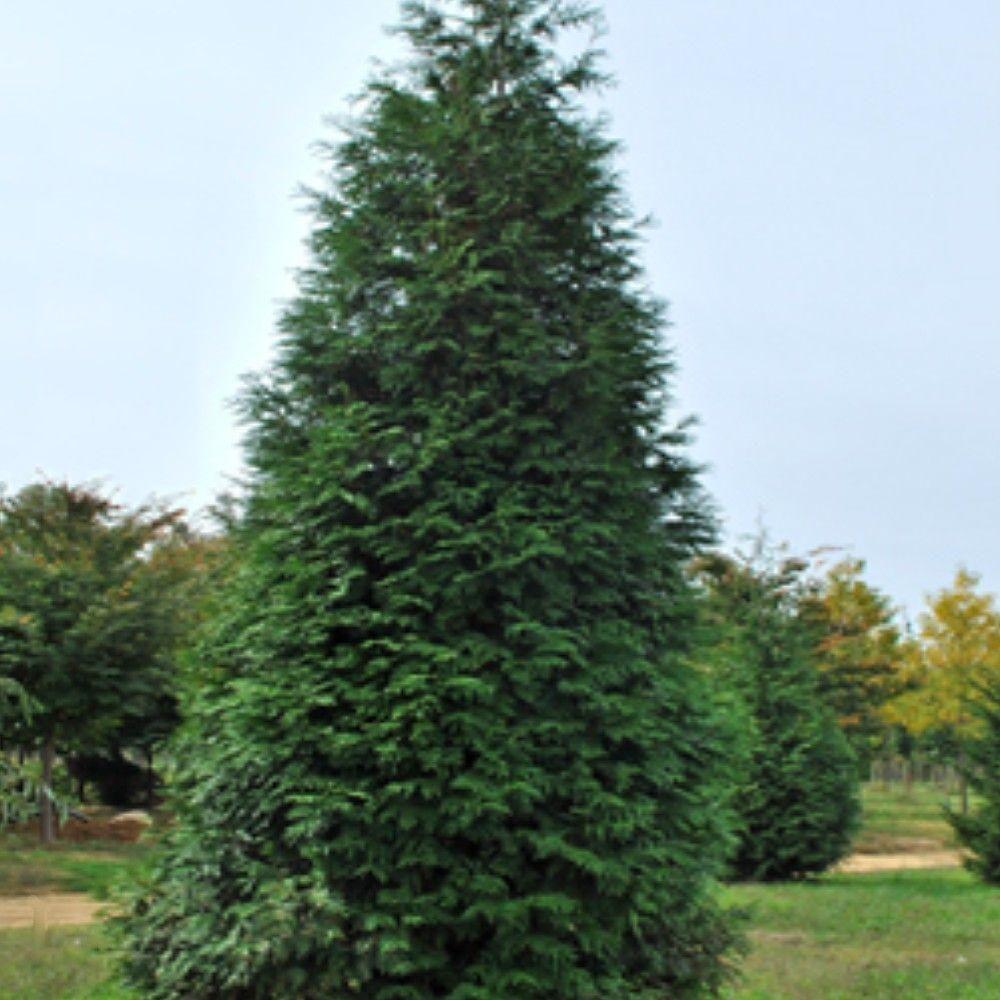 Onlineplantcenter 1 gal green giant arborvitae tree