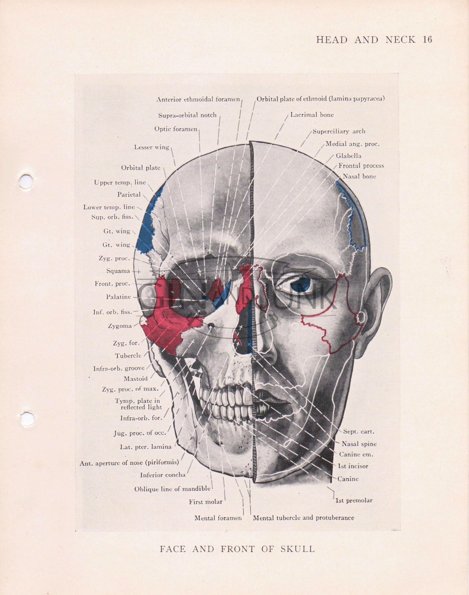 Vintage Anatomy Plate, Human Skull, Medical Print, Human Face, Eye ...