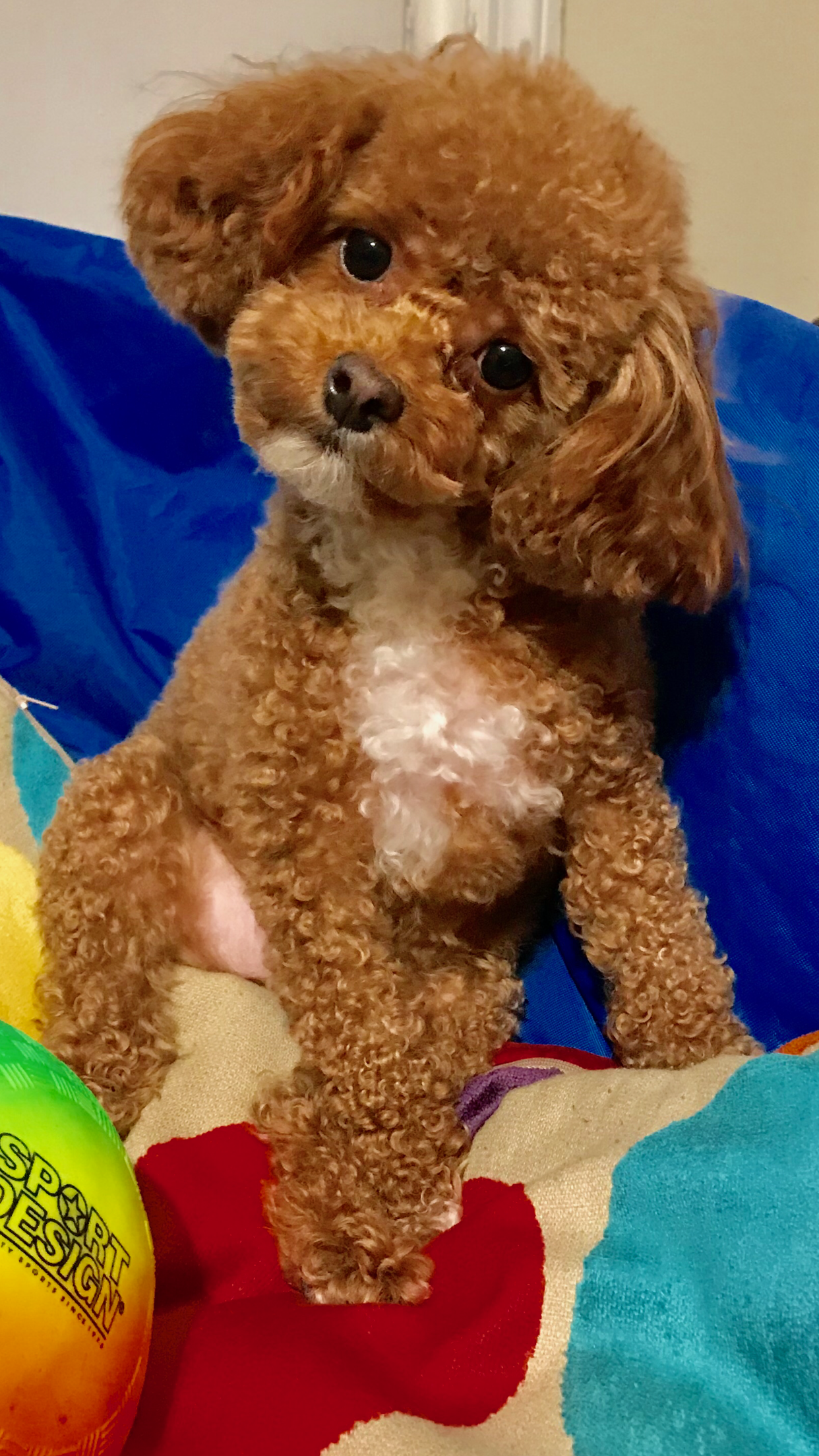Pin By Pamela Hartman On Toy Poodle Mia Poodle Puppy Poodle Dog Cute Baby Animals