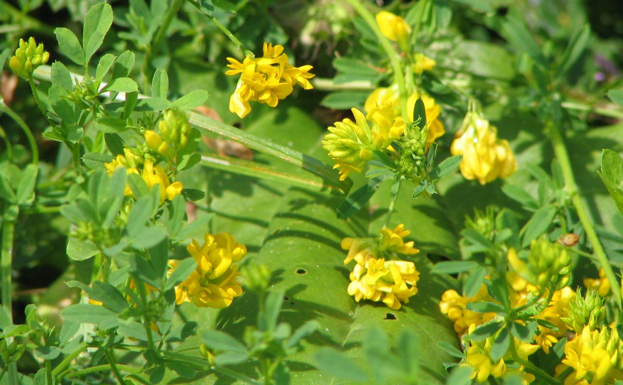 Image result for yellow flowered alfalfa homestead pinterest image result for yellow flowered alfalfa mightylinksfo