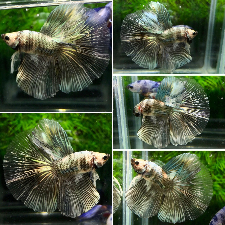 rust_color !!!HM-Male!!! | Beautiful Betta Fish | Pinterest | Betta ...