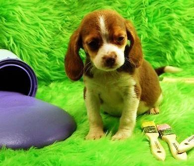 Mini Beagle Puppies For Sale New Litter Mini Beagle Beagle Puppy Beagle