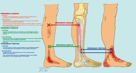 PERONEUS BREVIS, PERONEUS LONGUS, & PERONEUS TERTIUS | Health tips ...