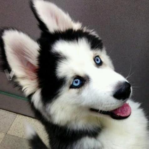 5 Reasons To Own A Siberian Husky Puppies Siberian Husky Funny