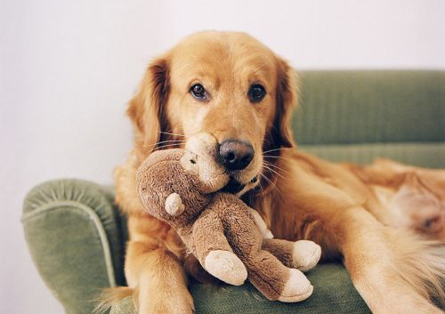 Cute Golden Retriever With Teddy Bear Baby Dogs Puppies Animals