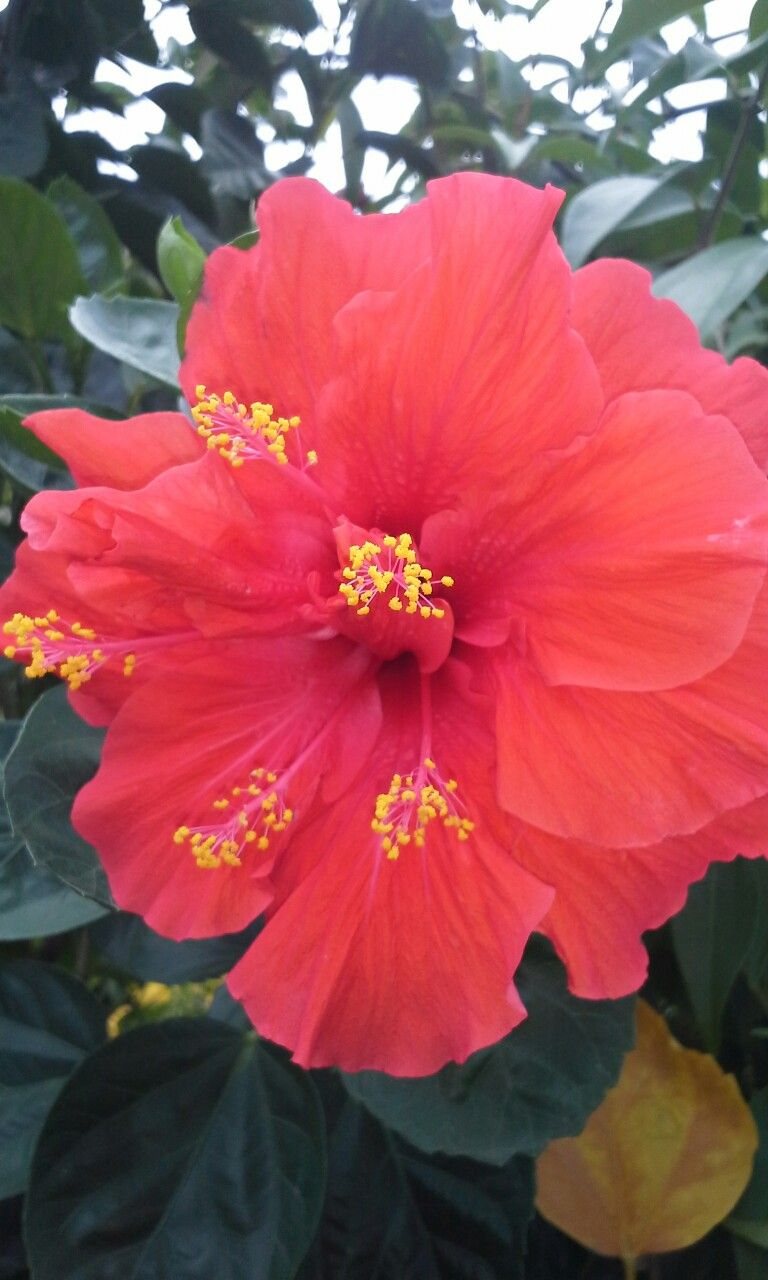 Hibiscus flower jamaica image collections flower wallpaper hd hibiscus flower jamaica pinterest hibiscus flowers and hibiscus hibiscus flower hibiscus flowersjamaica izmirmasajfo image collections izmirmasajfo Choice Image