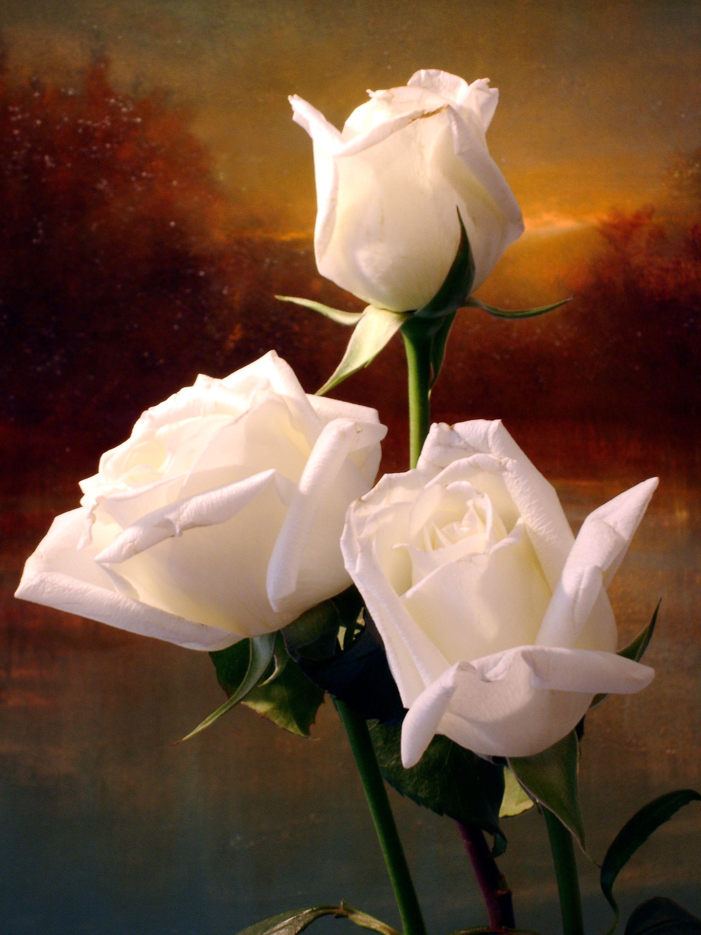 Sunrise Roses Maurice Sapiro Rose Beautiful Flowers Beautiful Roses