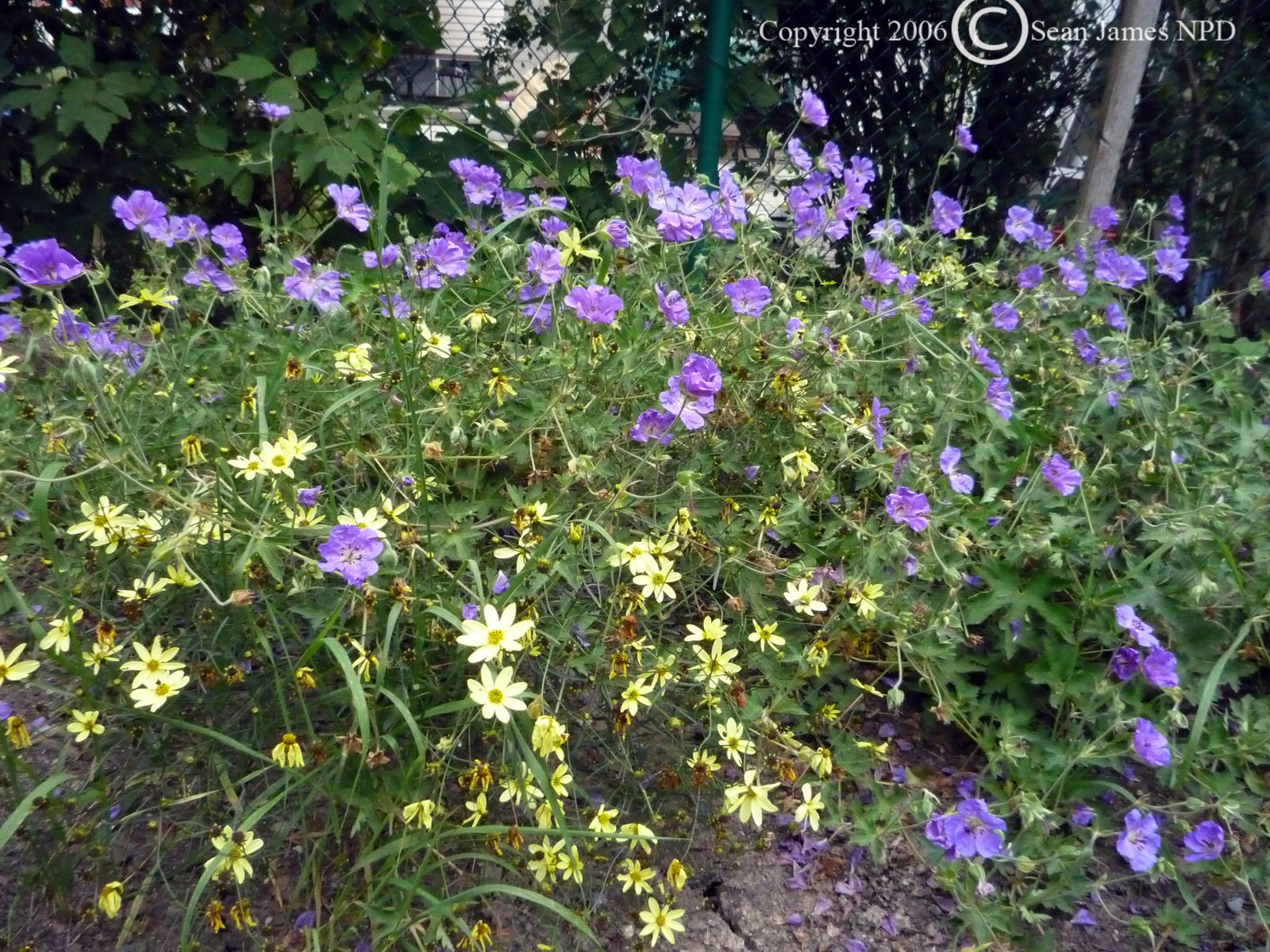 And here they are together! Moonbeam Coreopsis and Rozanne Geranium - a  stellar pair: