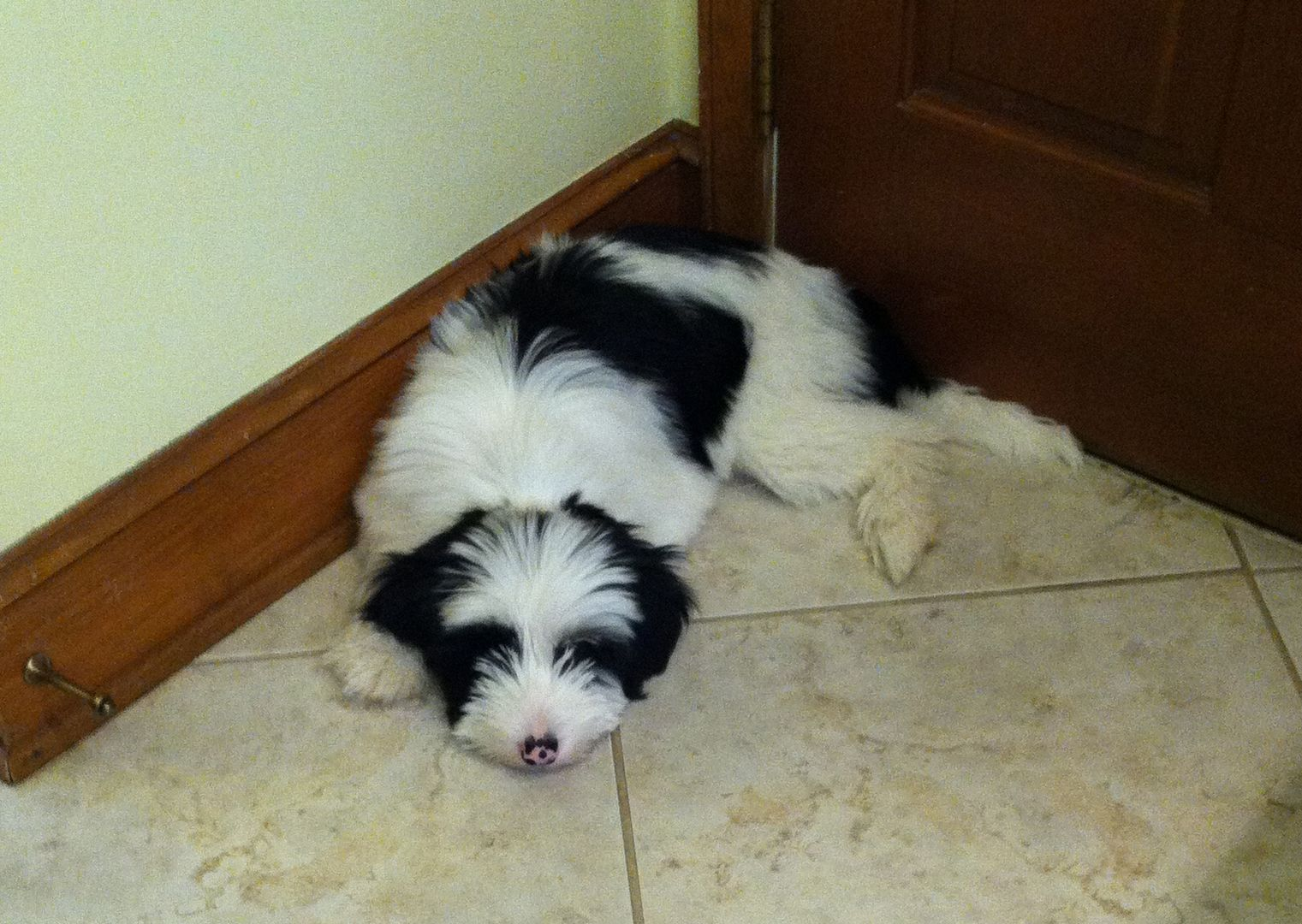 Tibetan Terrier Puppies For Sale Minneapolis MN Tibetan