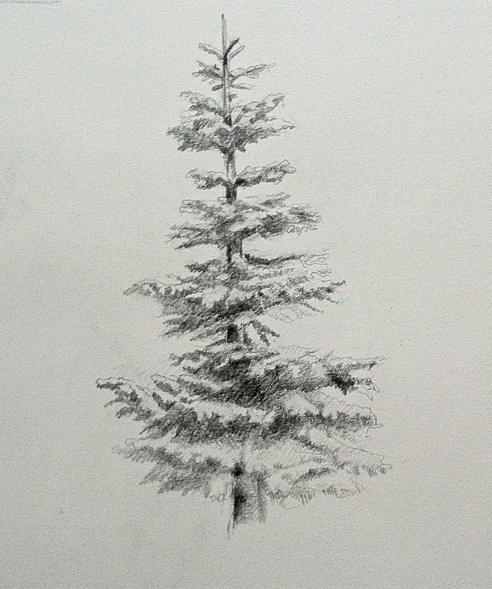 noble fir, evergreen, drawing, graphite Tree drawings