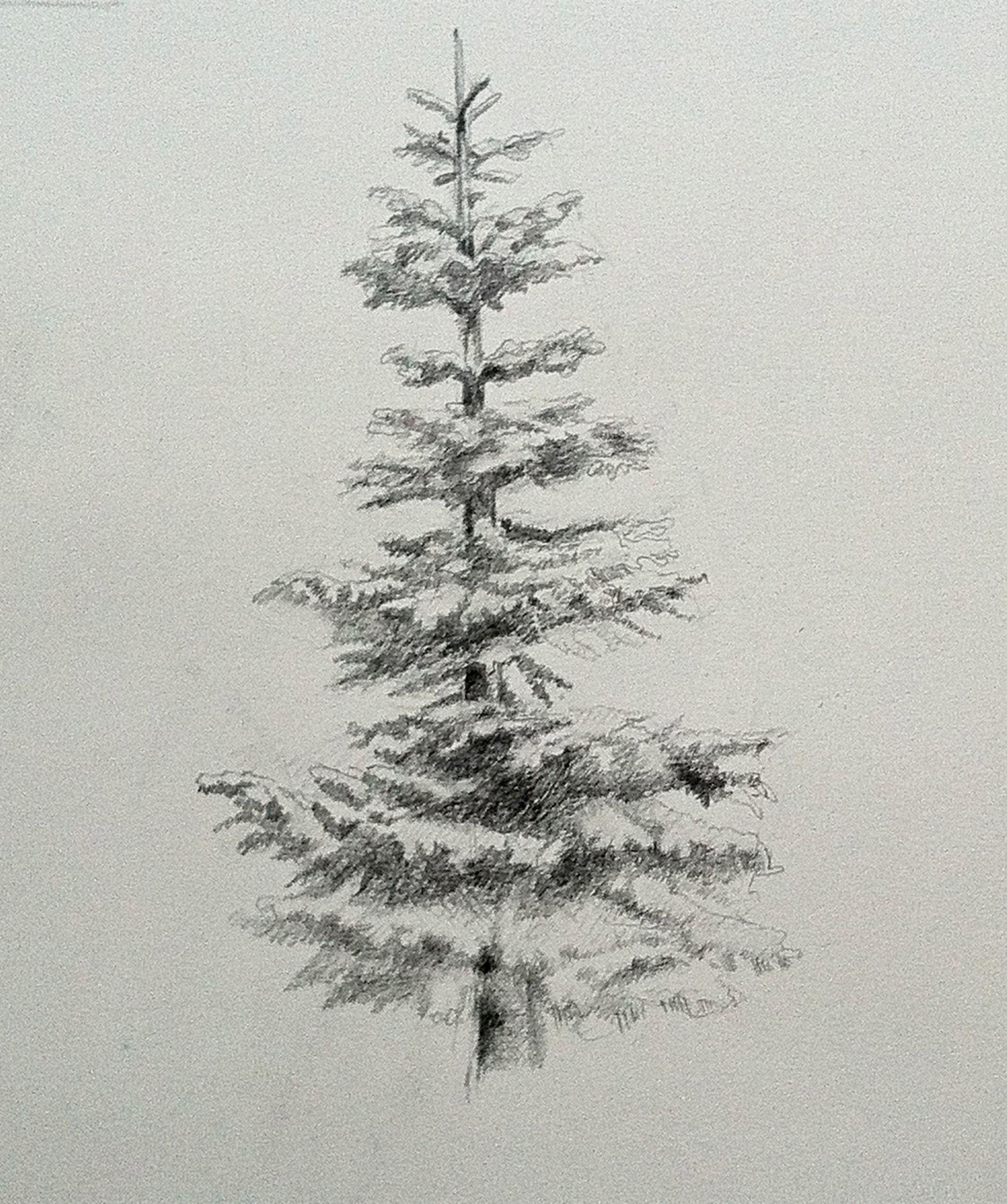 Noble Fir Evergreen Drawing Graphite Tree Drawing Tree Drawings Pencil Tree Art