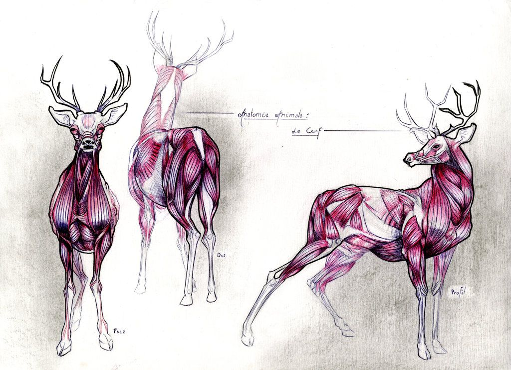 Deer\'s Anatomy Study... by TheFeelGoodsWall.deviantart.com on ...