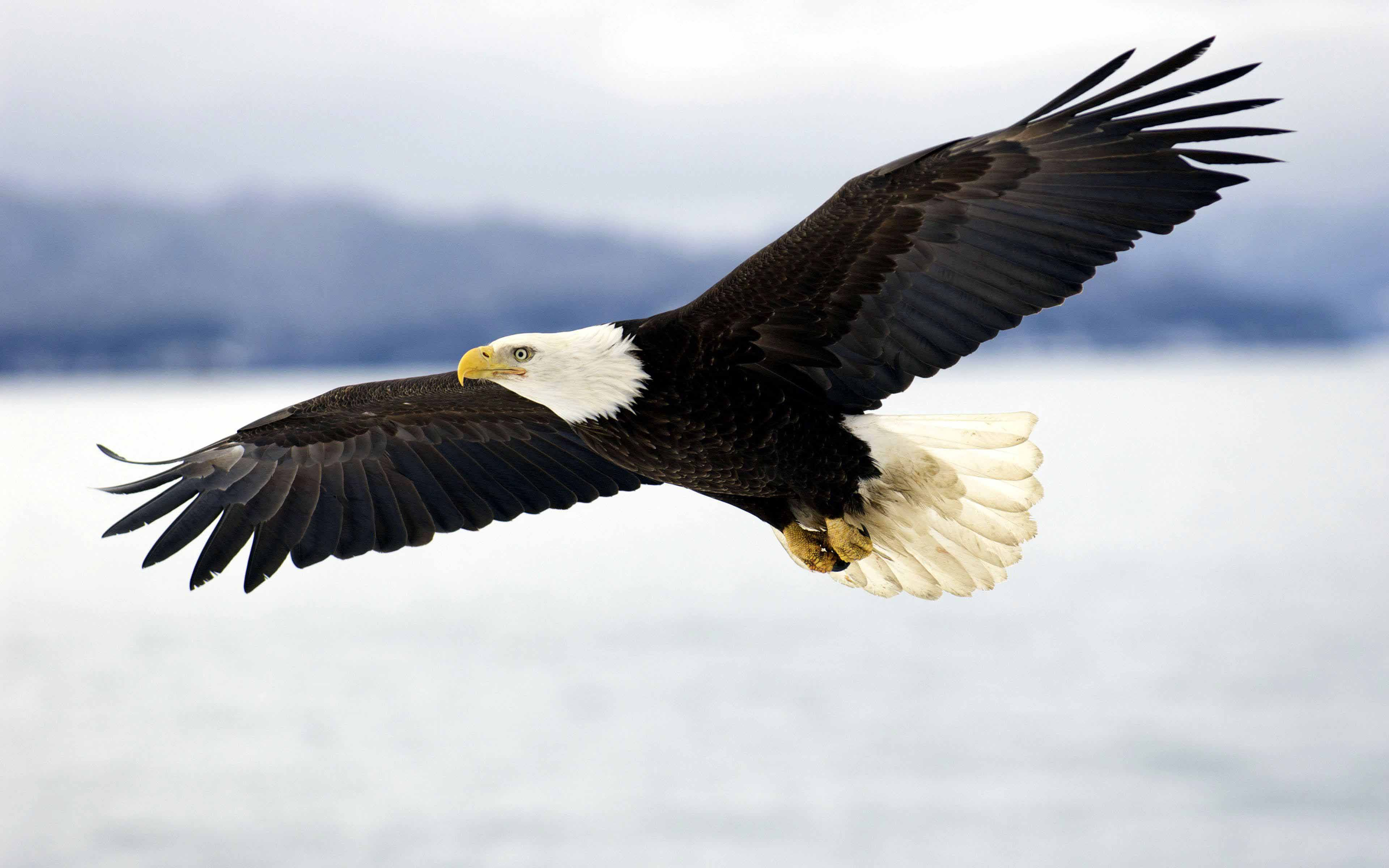 Bald Eagle landing on a large tree branch with wings extended by ...