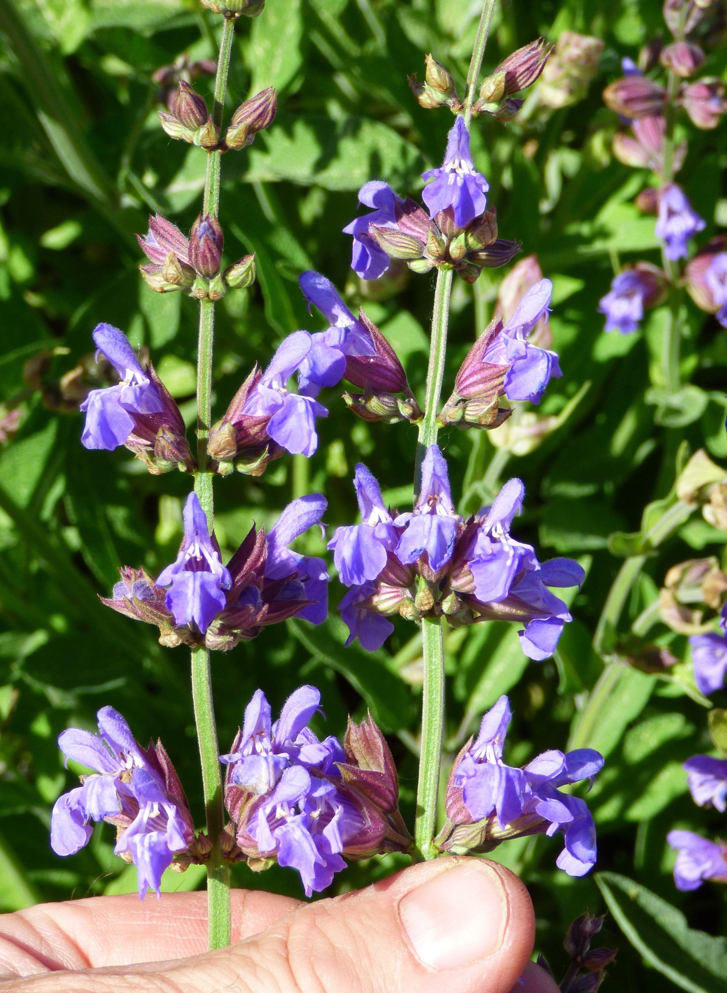 Common Sage / Salvia officinalis / Edible Flowers   Sage ...
