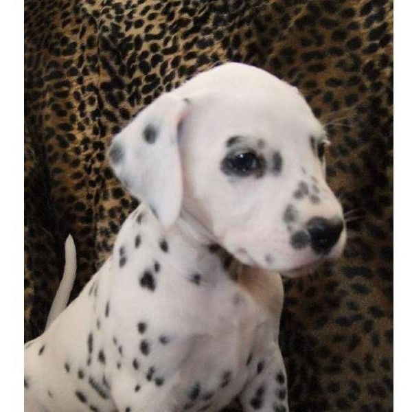 Yellow Dalmatian puppy for sale liked on Polyvore