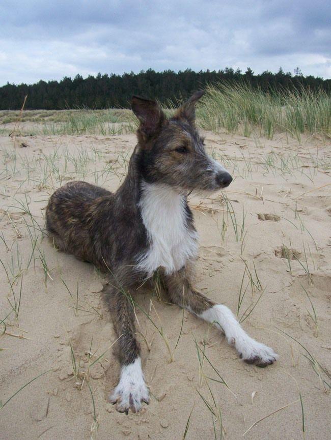 Hancock S Lurcher Puppies Lurcher Dog Breeds Hounds Of Love