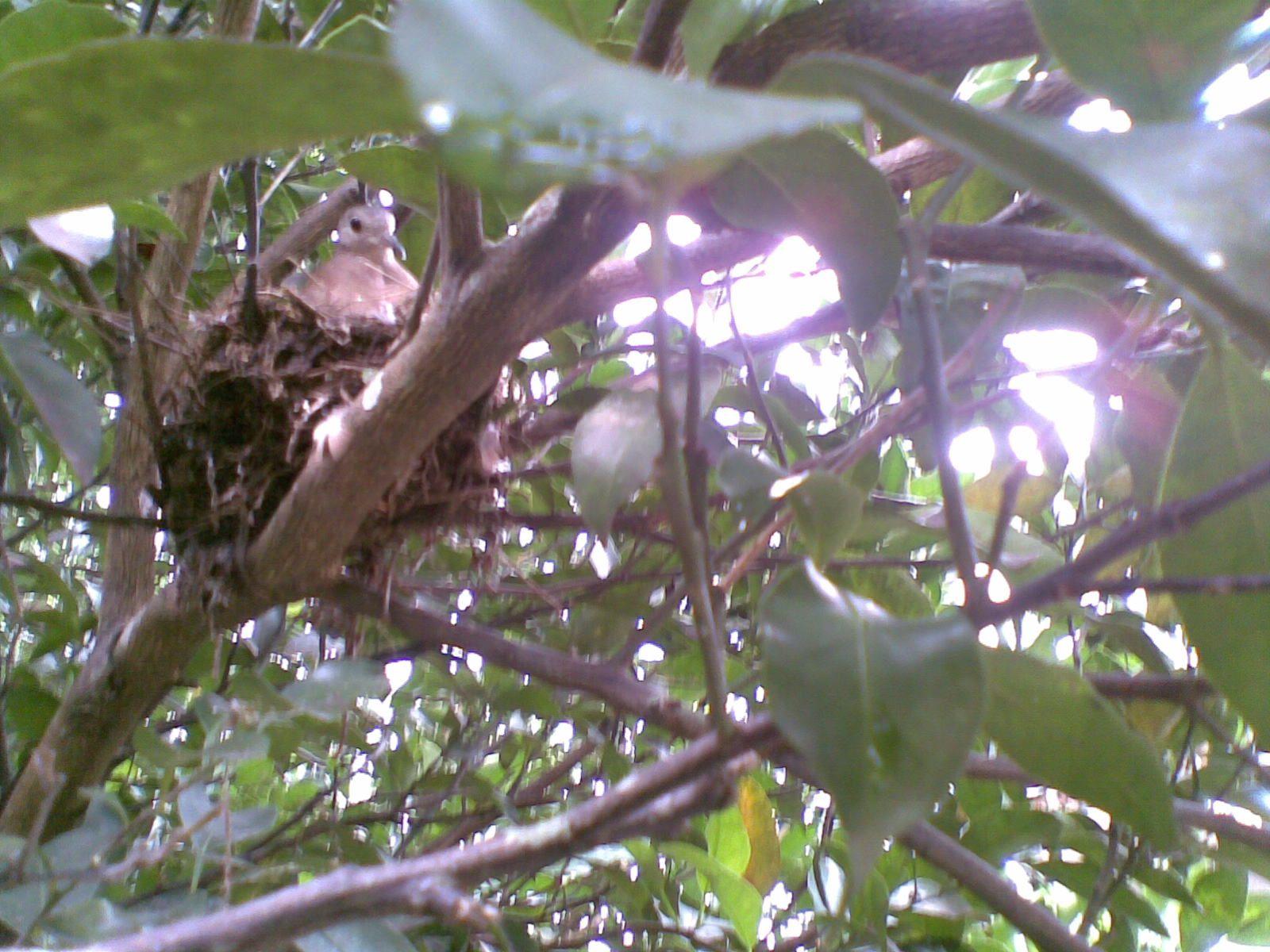 Pássaro em seu ninho com filhotes, no pé de tangerina.