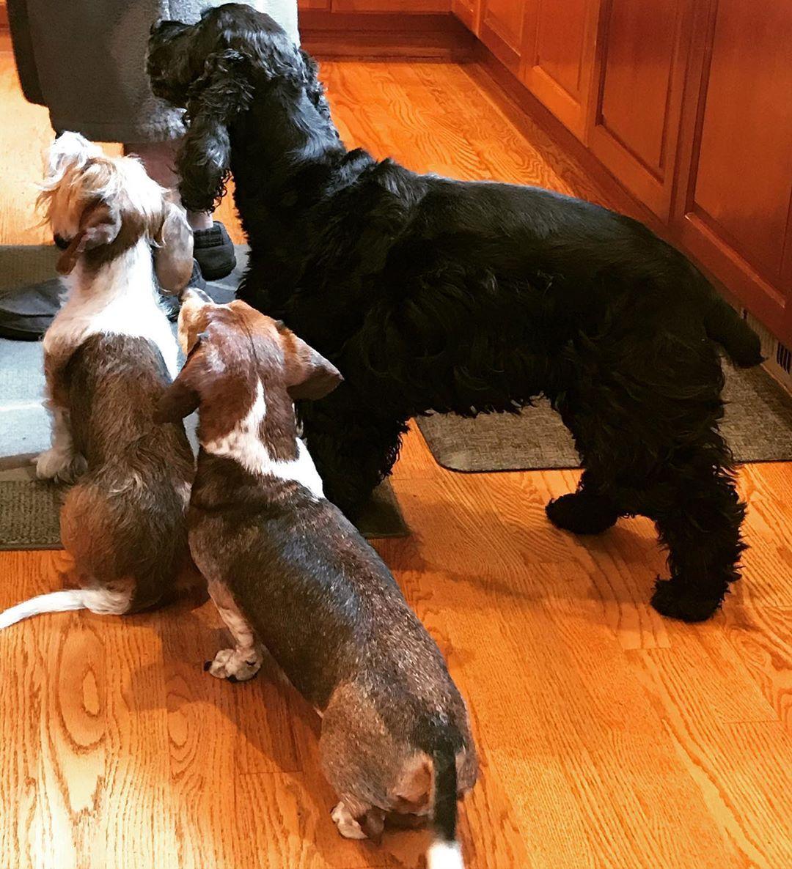 Sunday morning hunting Auggy #dogsofinstagram #englishcockerspanielsofinstagram #dachshundsofinstagram...