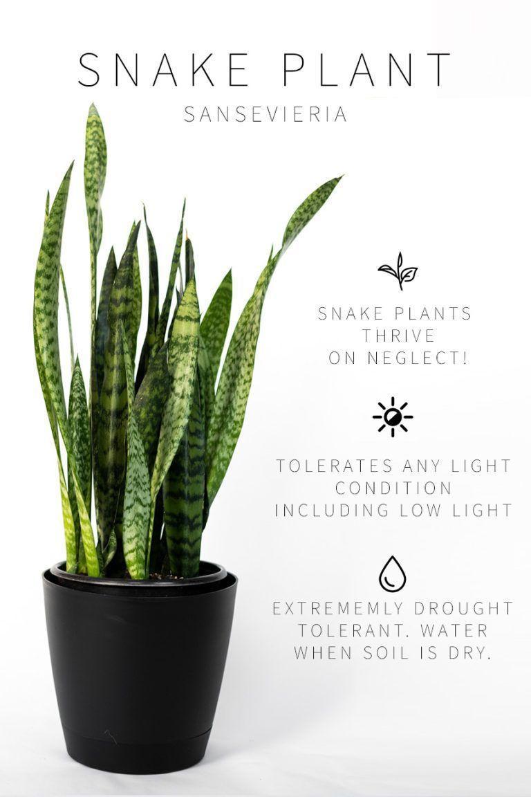 Low Light Indoor PlantSnake Plant Care Info in 2020