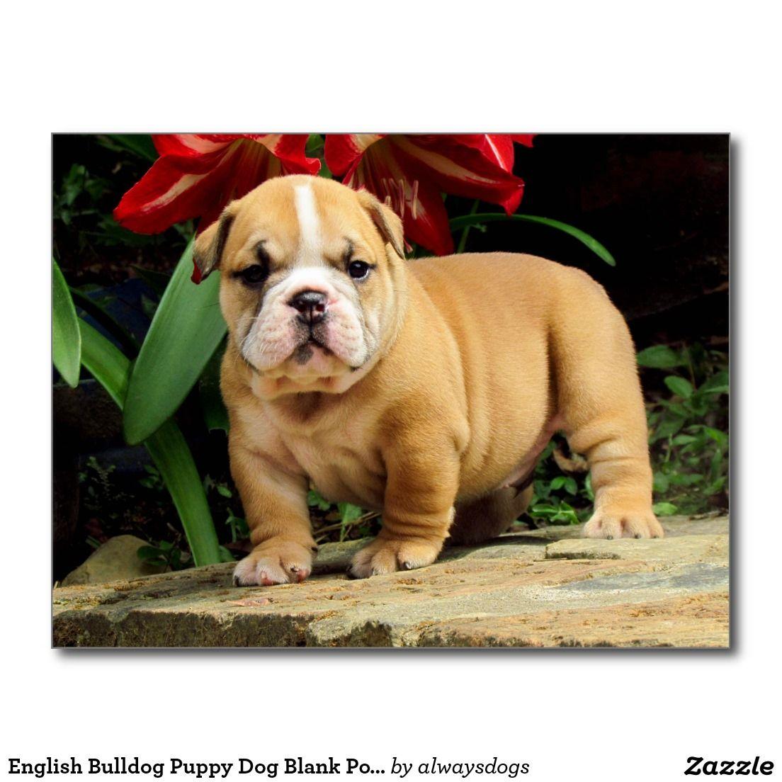 English Bulldog Puppy Dog Blank Postcard Zazzle Com English Bulldog Puppies Bulldog Puppies English Bulldog Puppy