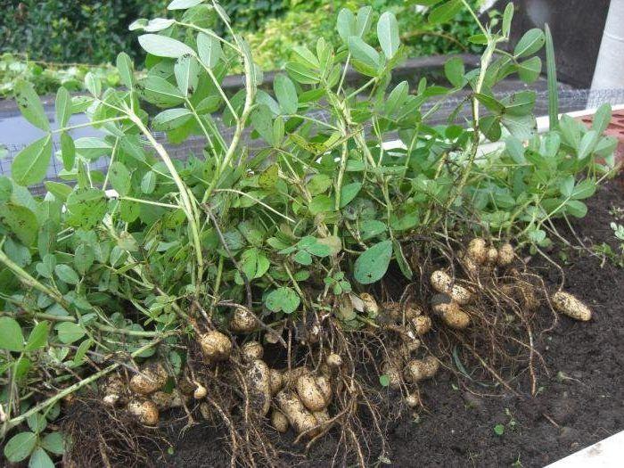 Арахис, или земляной орех - полезные свойства и ...