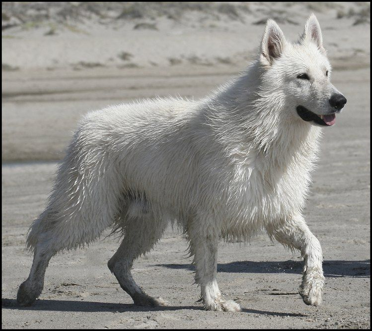 Ice Male White Suisse Shepherd Dances With Wolves Ranch Dogs Dog Breeds Most Beautiful Dogs