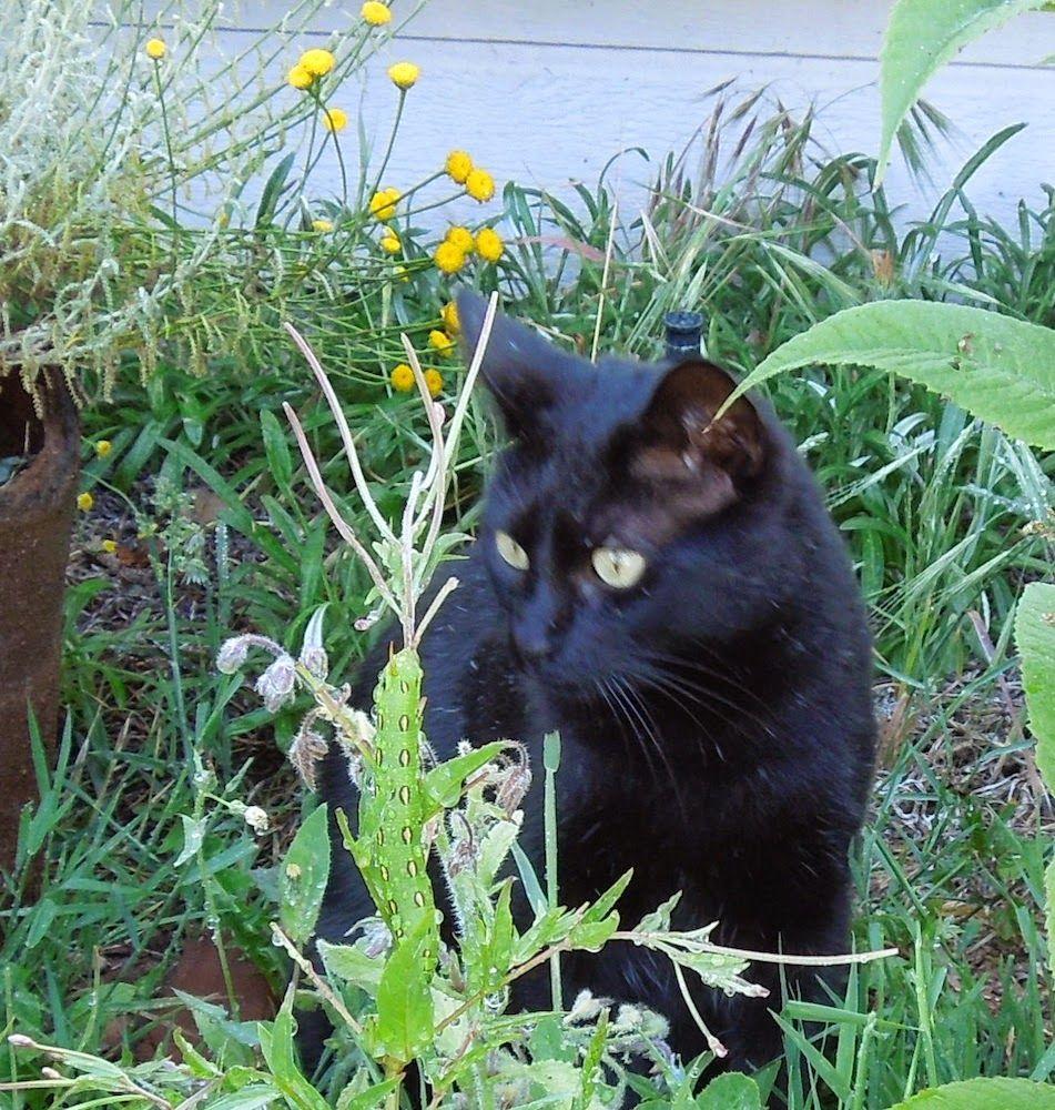 Black Cat Inspecting Tomato Worm On Borage Plant Little Kitty