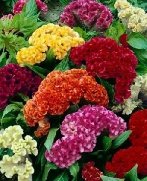 How To Care For Celosia Flowers Heat Tolerant Flowers Full Sun Flowers Celosia Flower