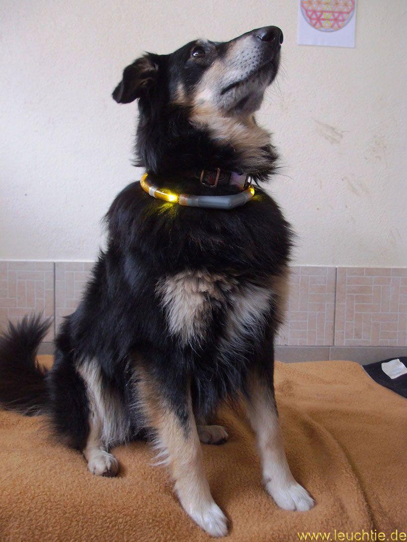 Leuchthalsband Leuchtie Plus Für Hunde Als Eine Spende Für Das