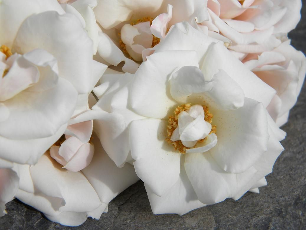 White Garden Rose Hair majolica spray rose (for wrist corsages, pin corsages