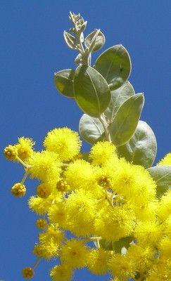 Queensland Silver Wattle (Acacia podalyriifolia)
