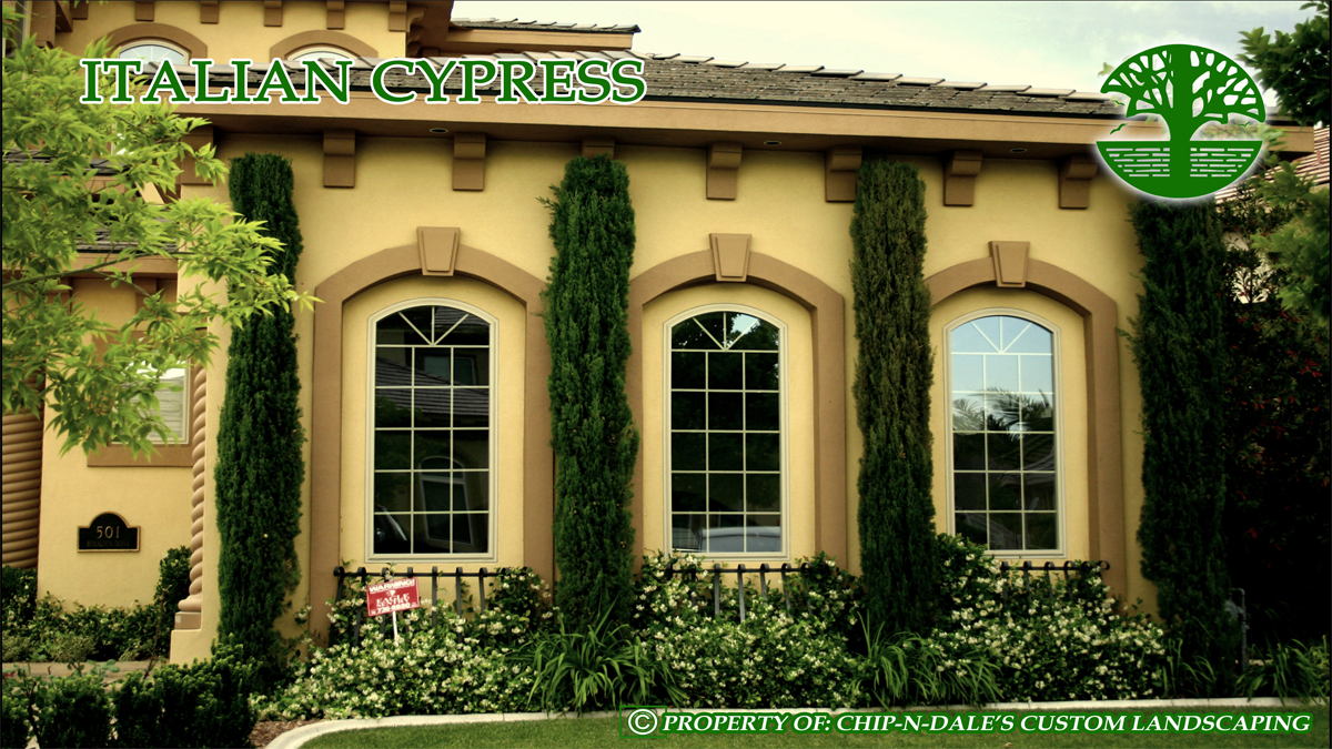 Dwarf Italian Cypress Trees Up Against The House And In Front Of