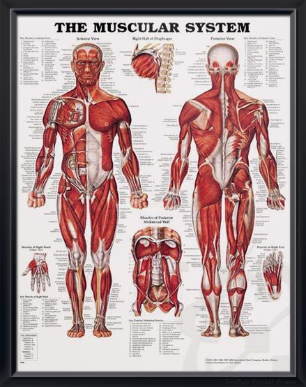 Muscular System: Male anatomy poster shows anterior and posterior ...