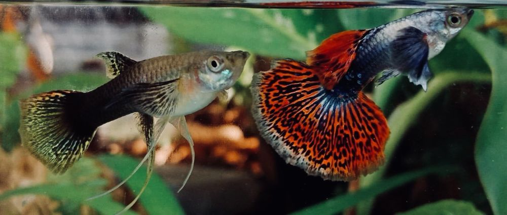 Red Dragon With Ribbon Guppies Extremely Rare And New Strain Guppy Guppy Fish Red Dragon
