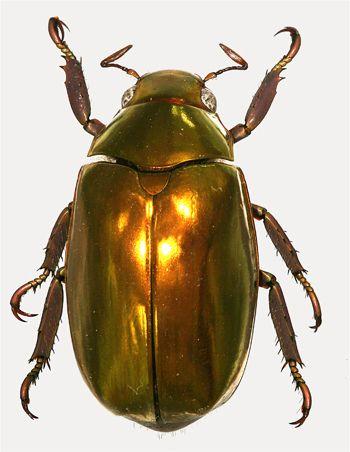 generic guide to new world scarab beetles scarabaeidae rutelinae