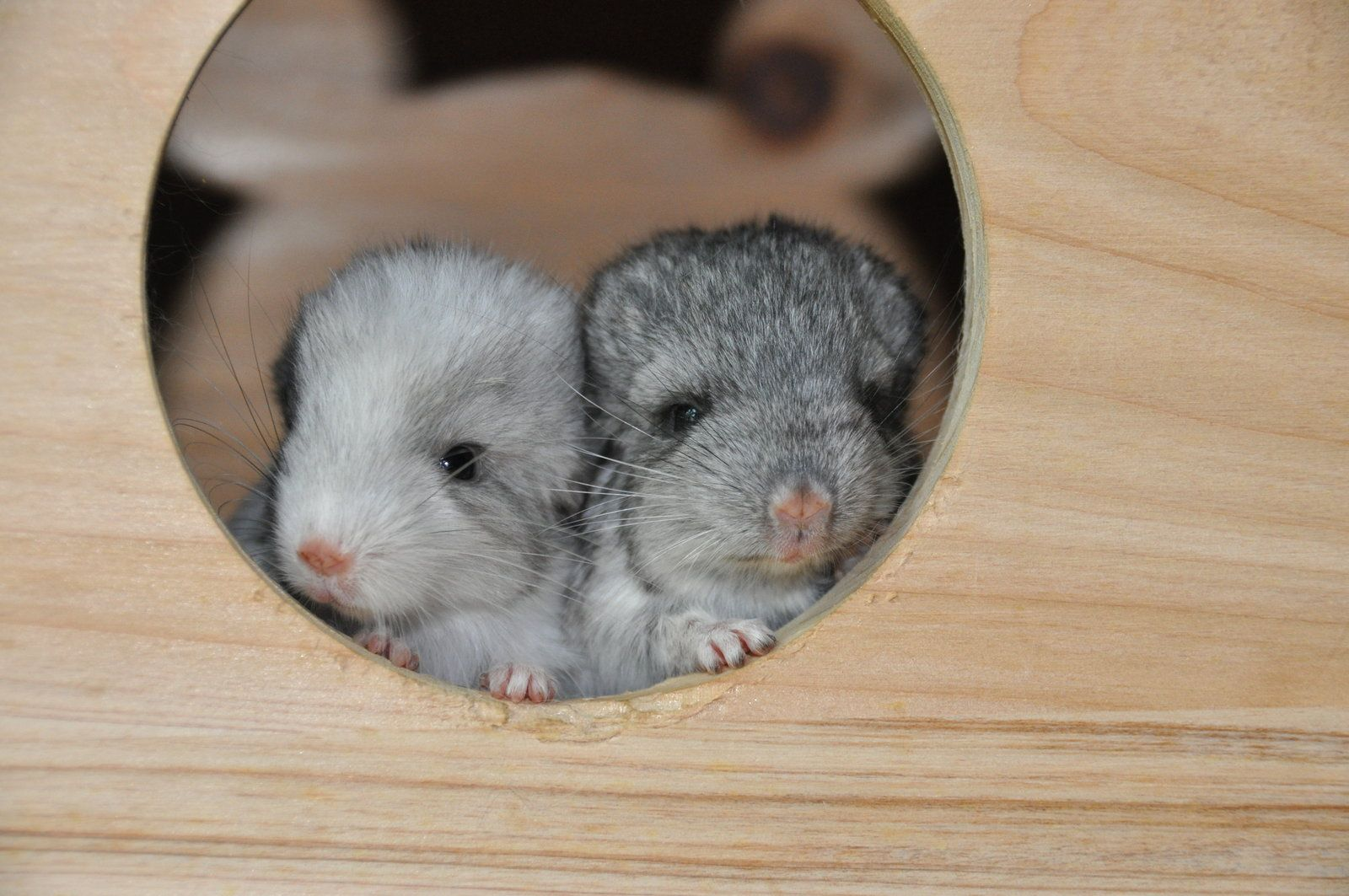 baby chincillas Baby Chinchillas Cute Pinterest