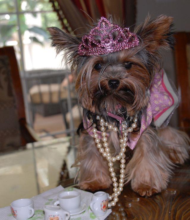 Little princess Yorkie dogs, Yorkie puppy, Yorkie moms